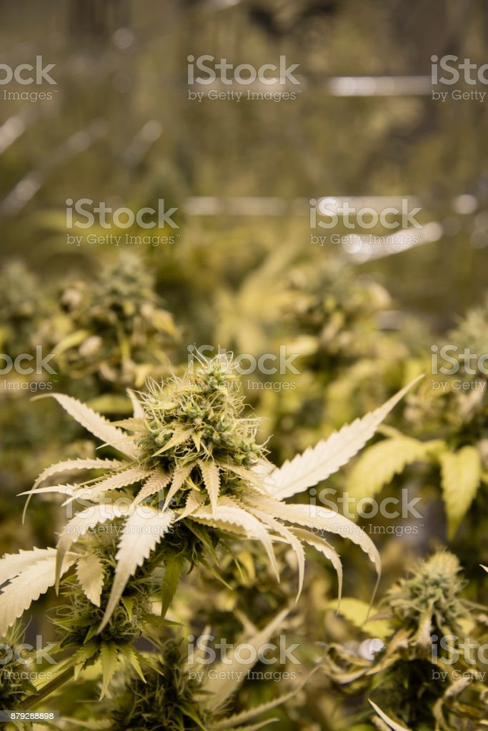 Homegrown Cannabis Bud Ready for Harvest stock photo