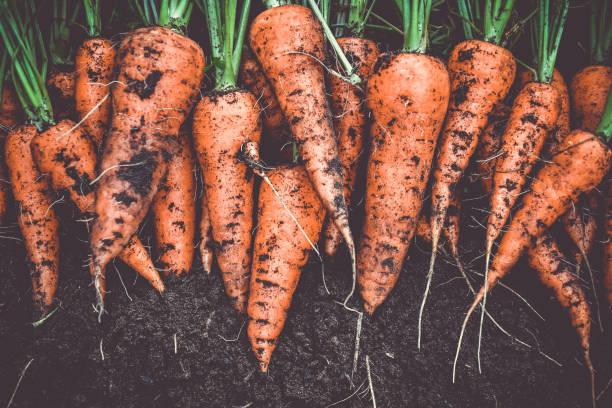 homegrown fresh harvest of orange garden carrots - cenoura imagens e fotografias de stock