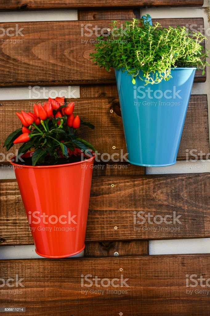 Homegrown peppers and basil in lovely pots stock photo