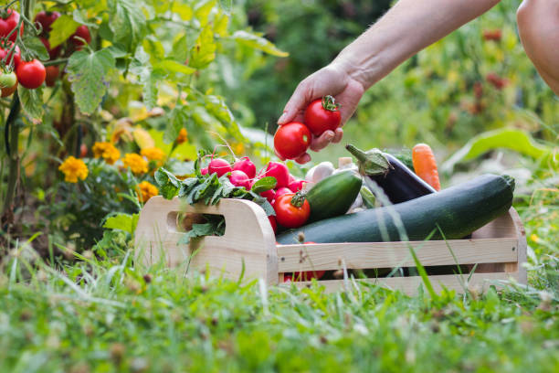 Homegrown produce in organic garden stock photo