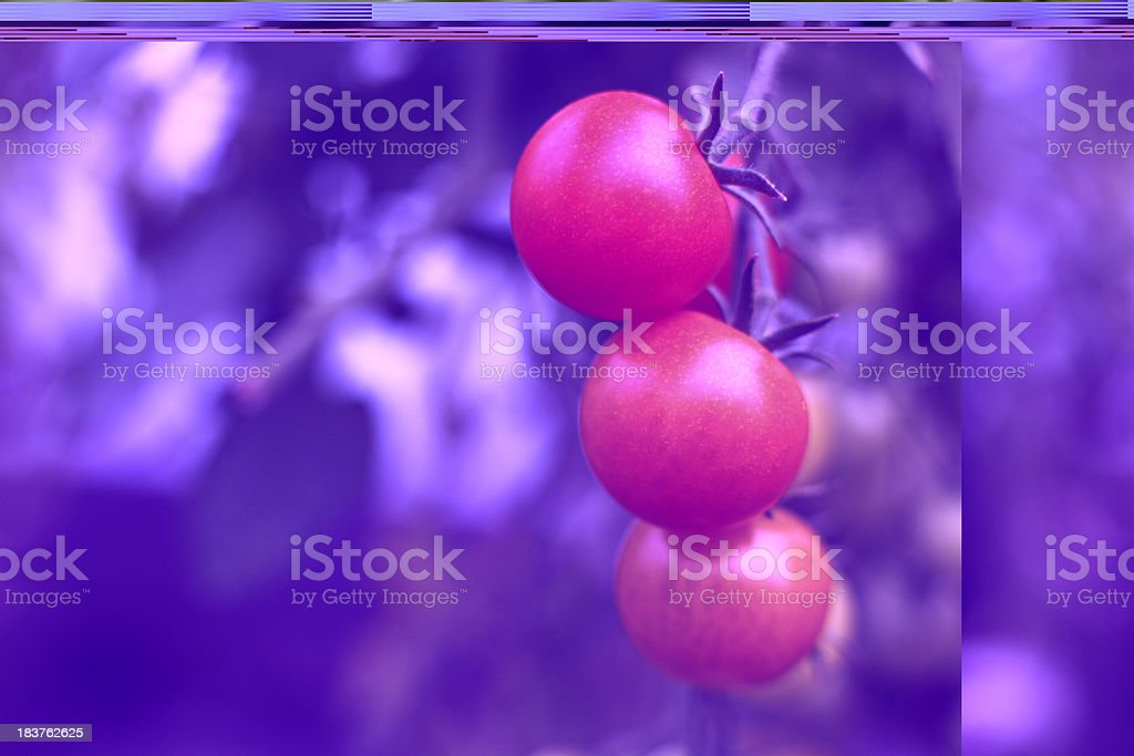 Homegrown tomatoes royalty-free stock photo