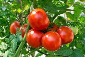 地元のトマト