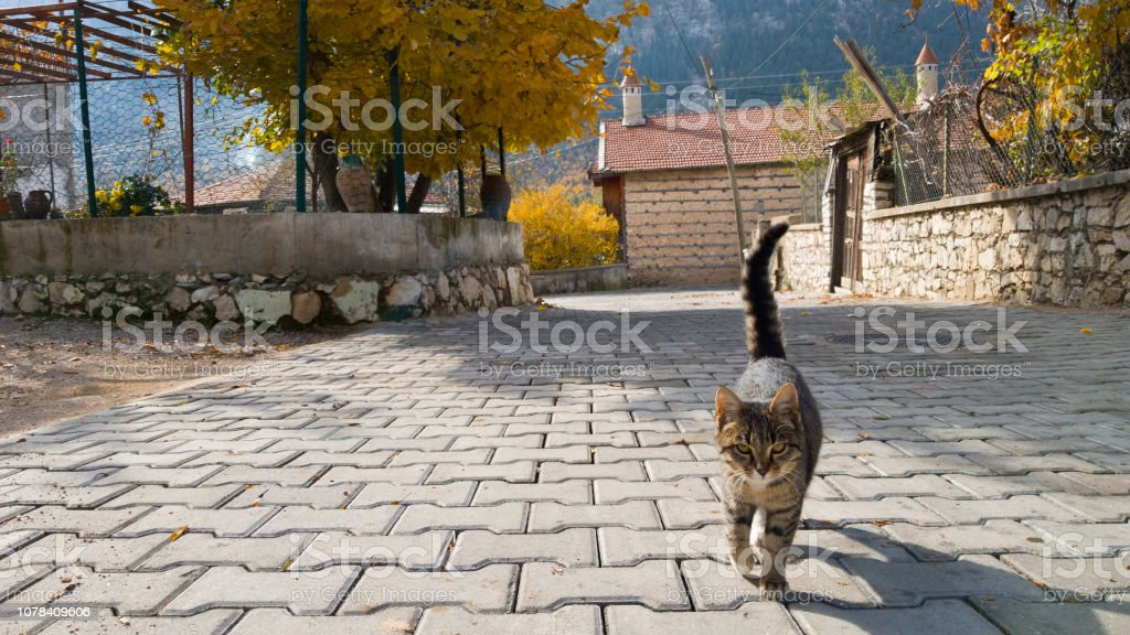 Homeless Beautiful Young Cat Goes Towards The Camera Village