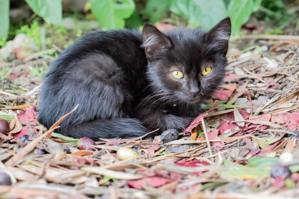 Homeless black kitten laying on the ground in park in autumn on picture id1192737372?b=1&k=6&m=1192737372&s=612x612&w=0&h=sqyn7itya 92orfphrojtxyl6oumrzqsjmky17pehg8=