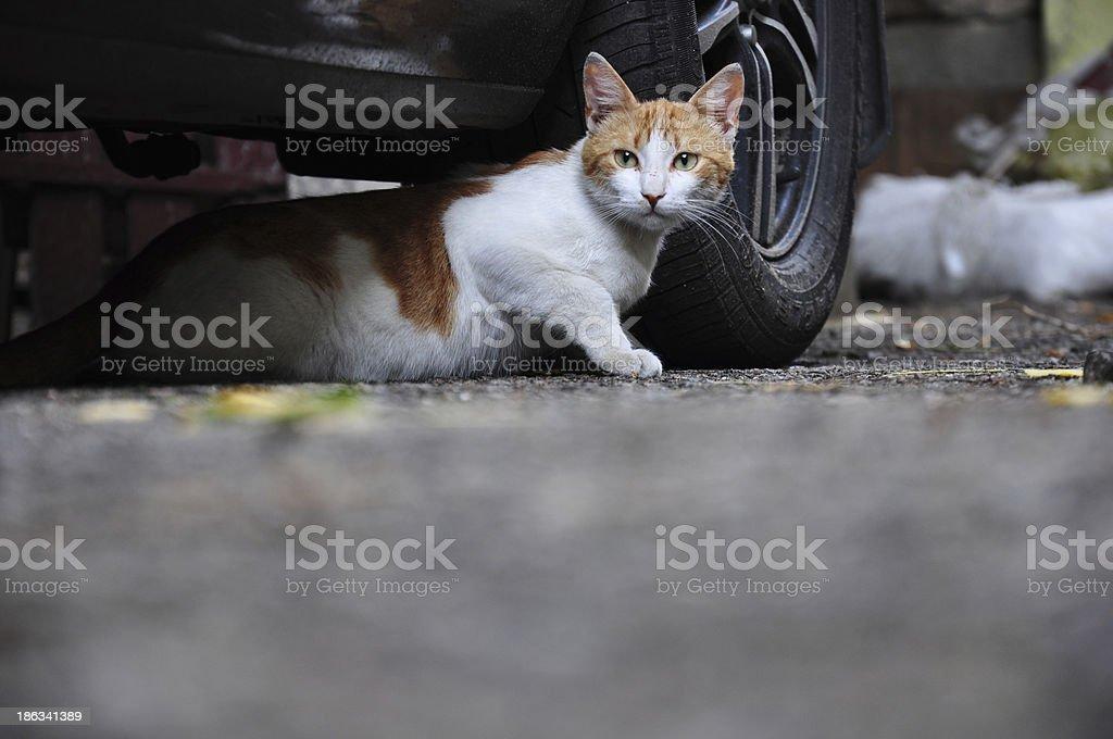 homeless cat royalty-free stock photo