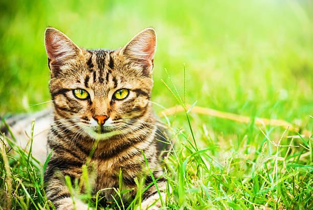 homeless cat with beautiful eyes and leopard coloring - katze zeichnen stock-fotos und bilder