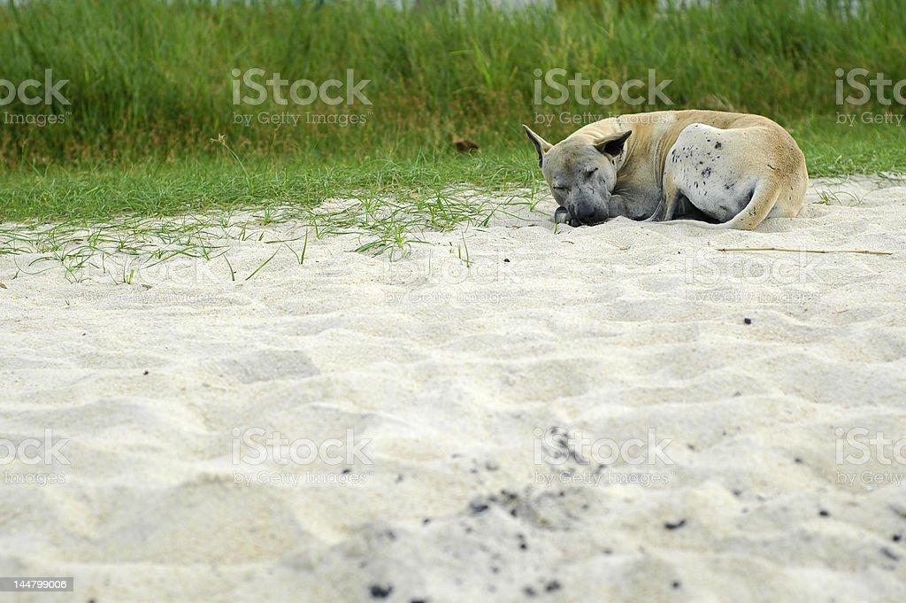 Homeless Dog At Beach royalty-free stock photo