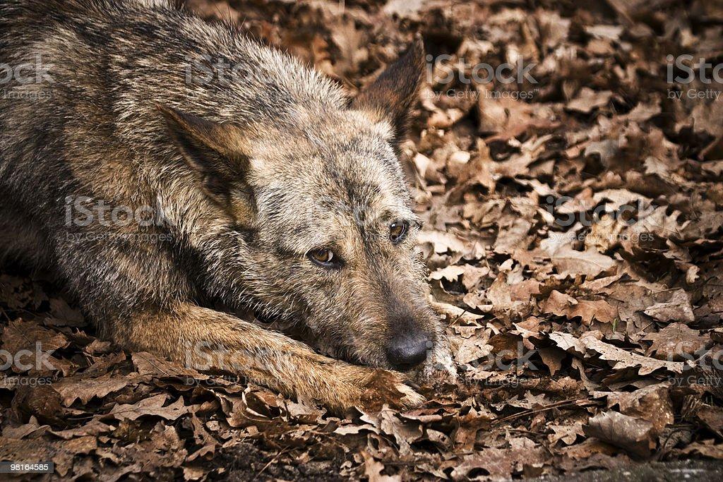 Homeless dog royalty-free stock photo