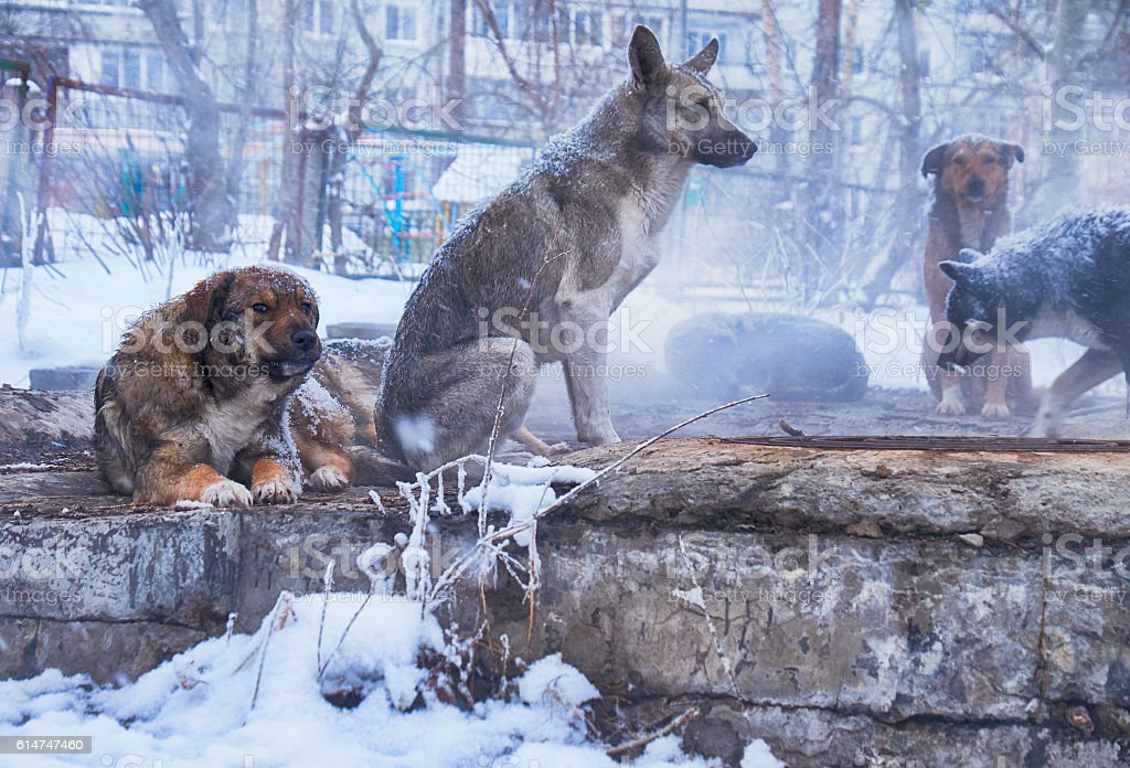 Homeless dogs in winter stock photo