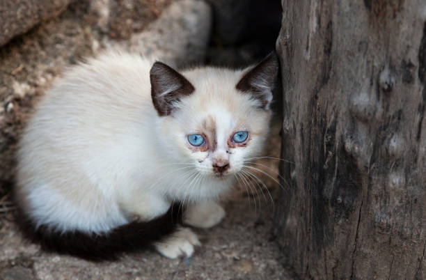 Homeless Siamese kitten looking at camera stock photo
