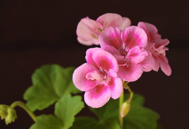 Homemade flower of geranium plant. stock photo