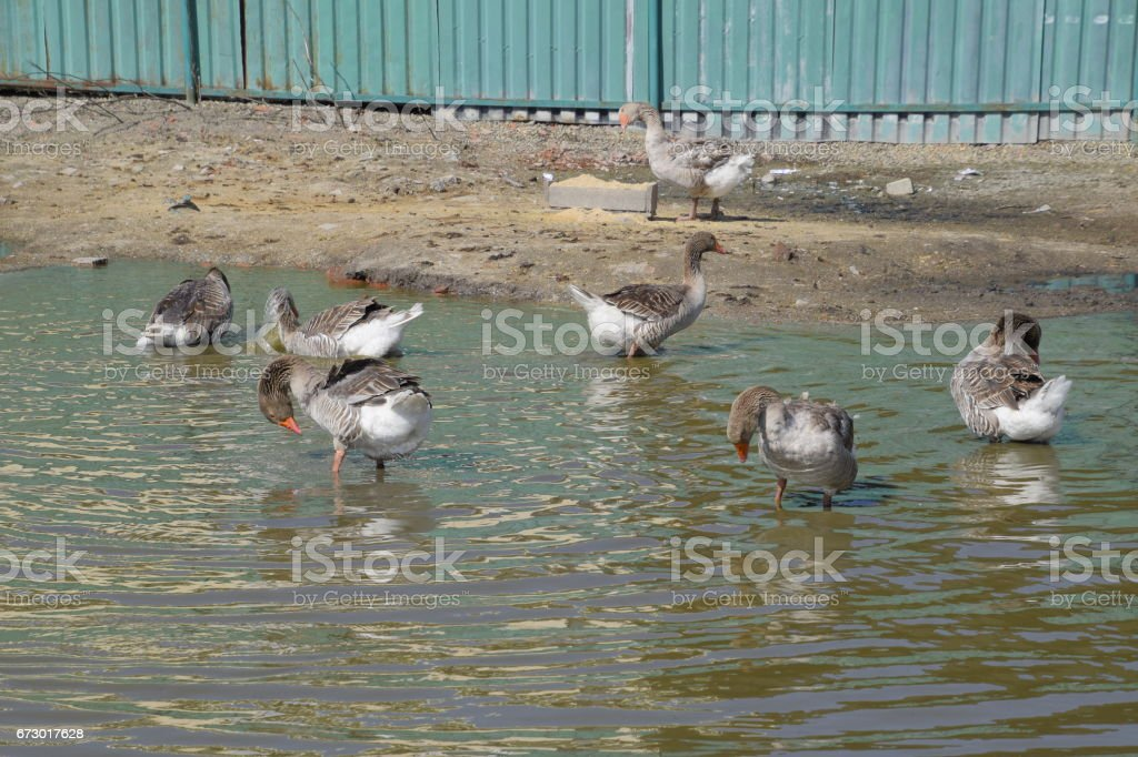 Homemade gray goose. The gray goose is domestic. Homemade geese in an artificial pond stock photo