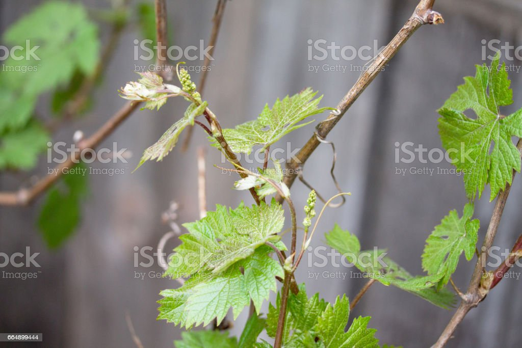 Homemade vegetable young green grapes outdoors in the garden. foto stock royalty-free