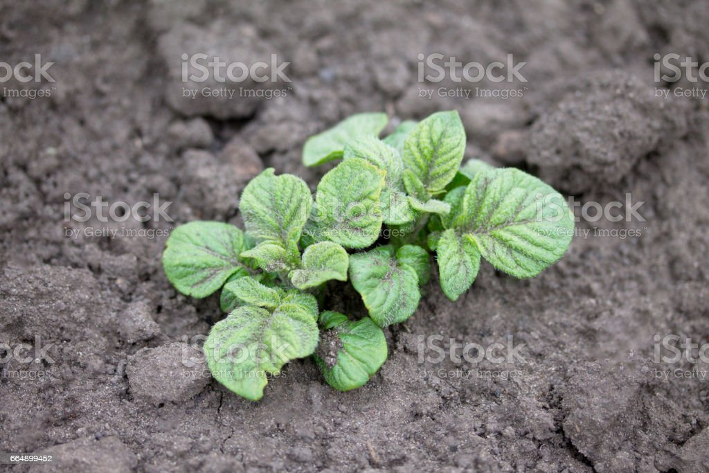 Homemade vegetative young green potatoes on a vegetable plantation in the garden. foto stock royalty-free
