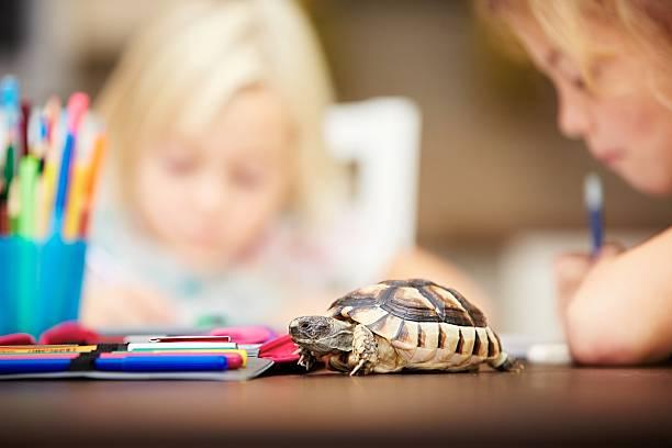 hausaufgabe - babyschildkröten stock-fotos und bilder