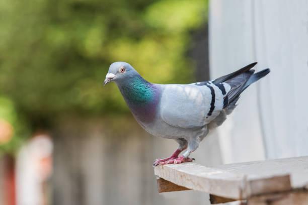 Brieftaube Vogel Sitzstangen auf home loft – Foto