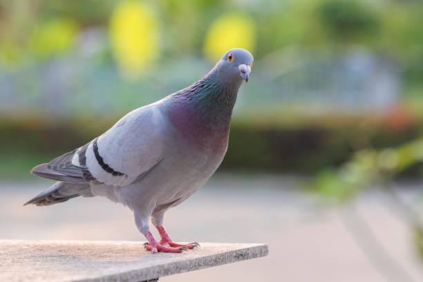 Brieftaube Vogel stehend auf home Loft Hintergrund grünen park – Foto