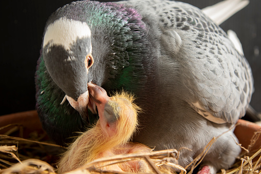 homing pigeon feeding corp milk to hatch in nest