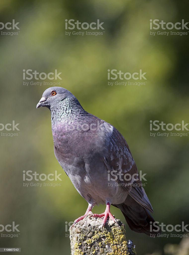 Homing pigeon stock photo