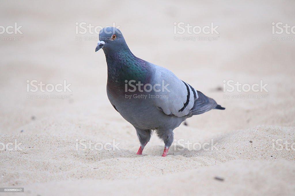 Homing pigeon stock photo