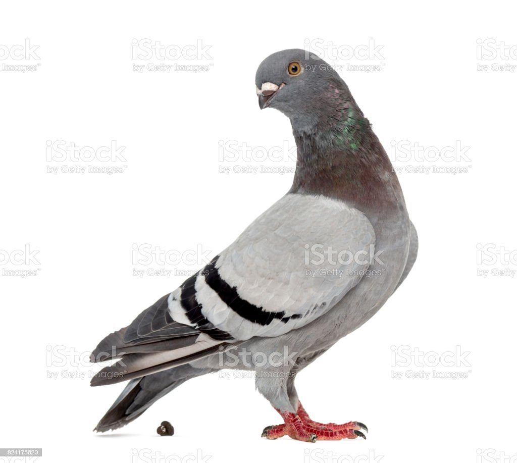 Homing pigeon pooping in front of a white background stock photo