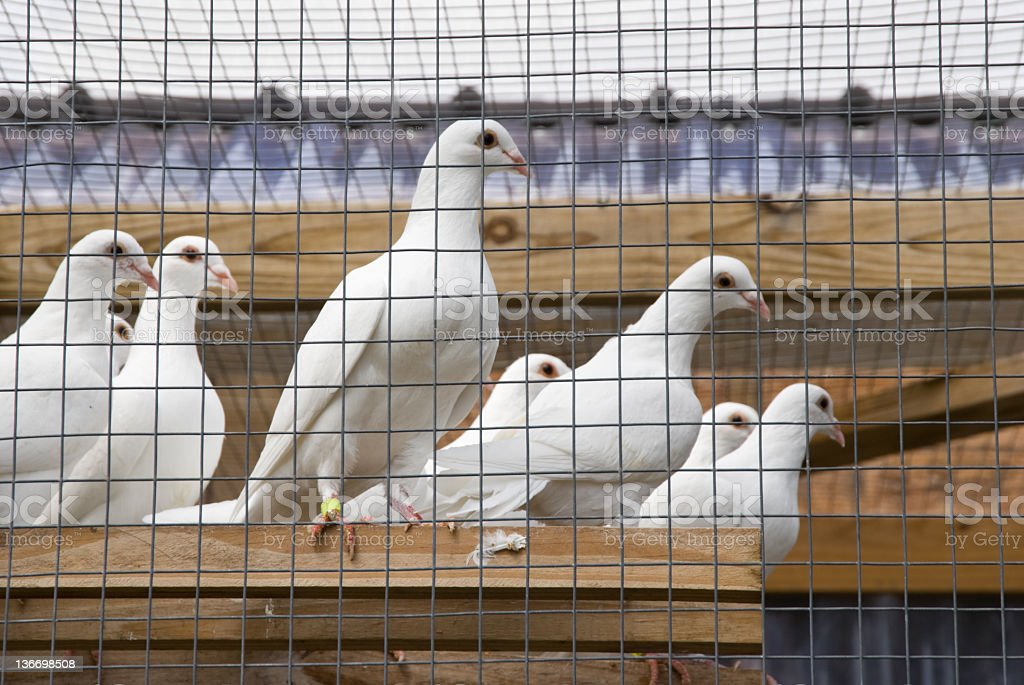 Homing Pigeons in Cage royalty-free stock photo