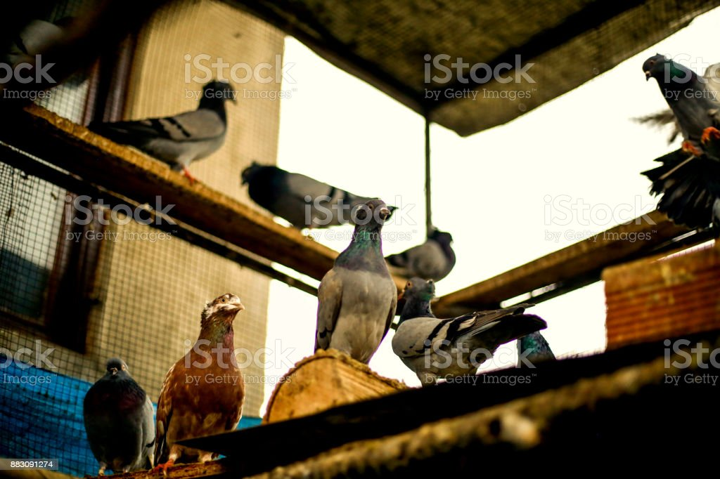 Homing pigeons sitting and flying in a dovecote stock photo