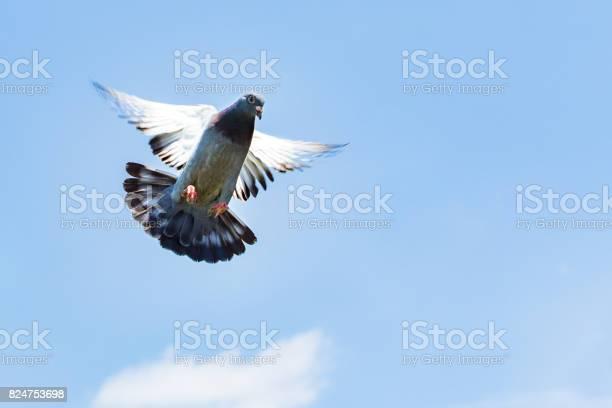 Homing speed racing pigeon landing to ground picture id824753698?b=1&k=6&m=824753698&s=612x612&h=qg bkag940yuziw032pmvgvefjtbn4s8pdoz9h4c qo=