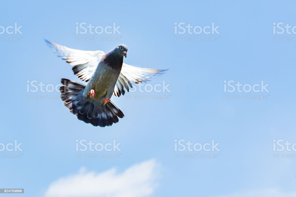 homing speed racing pigeon landing to ground stock photo