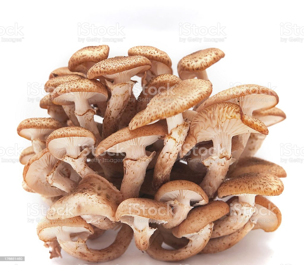 Honey agarics stock photo