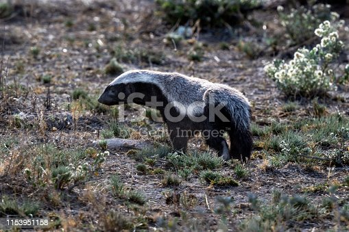Honey badger (Mellivora capensis) in Etosha National Park, Namibia.