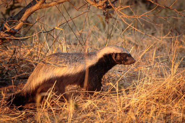 Honey Badger in the morning sunlight Chobe River, Botswana, Africa stock photo