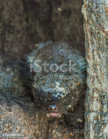 Honey Badger or ratel, coming out of a tree, Millivora capensis, Savute Area of Chobe National Park, Botswana, Carnivora, Mustelidae, uncommon. Coming out of a tree with a bee hive and bees.