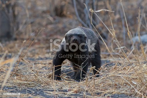 Honey Badger looking. Etosha National Park, Namibia.