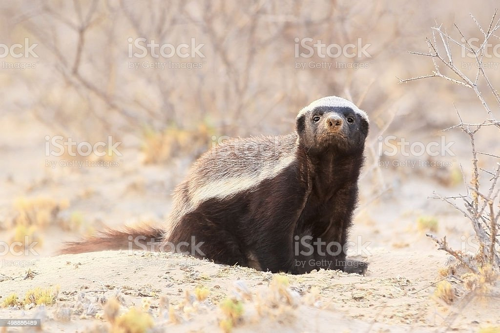 Honey badger sniffing the air stock photo