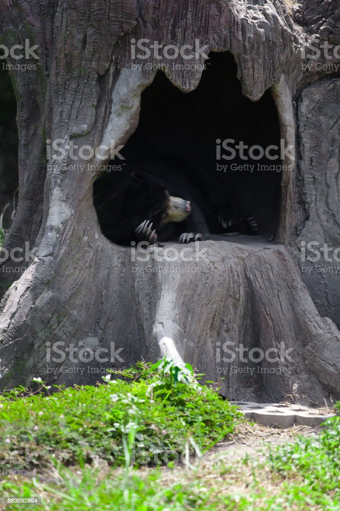Honey Bear - Melursus ursinus stock photo