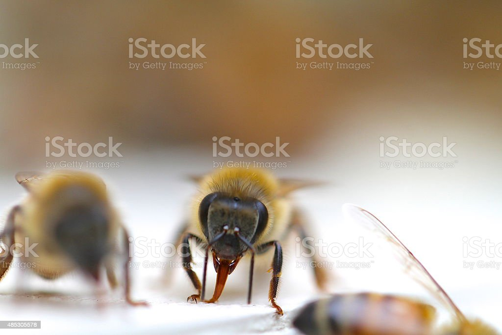Honey bee after the rain stock photo