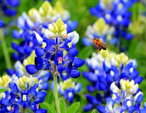 honey bee and bluebonnet - bluebonnet stock photos and pictures