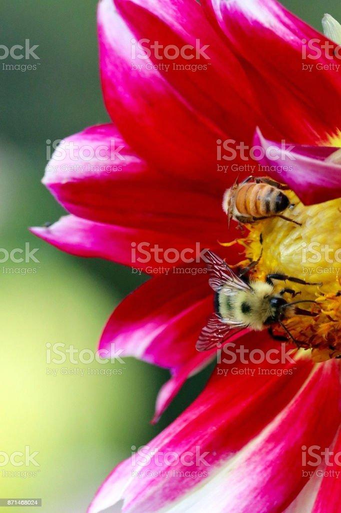 Honey Bee and Bumble Bee on Dahlia stock photo