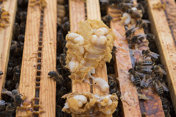 Honey bee and male brood showing varroa mites stock photo