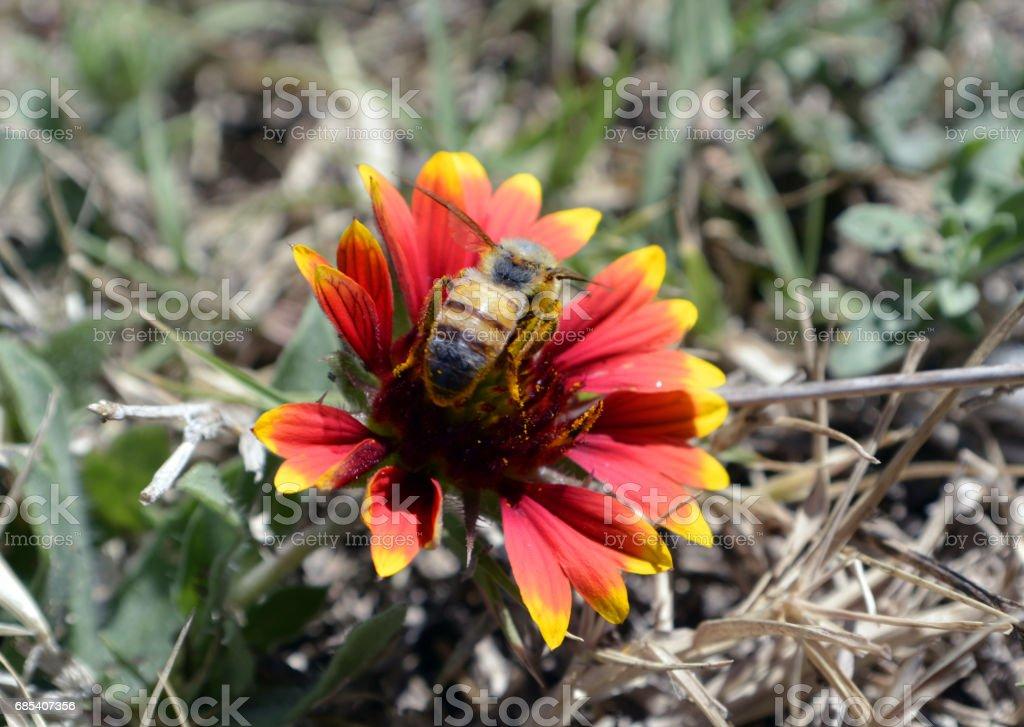 Honey bee and Pollen stock photo