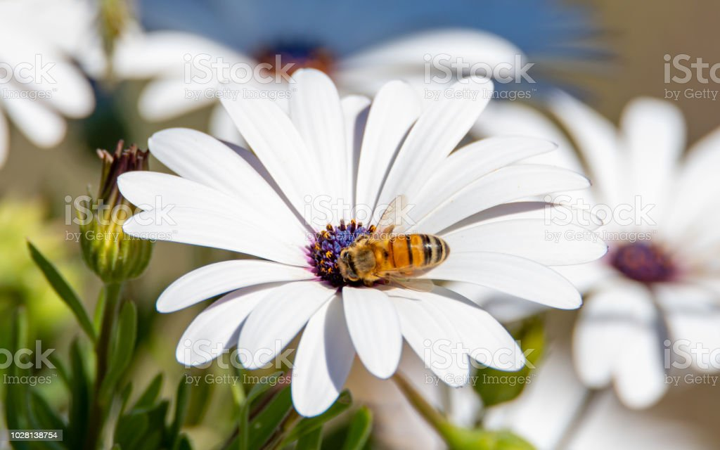 Honey Bee and White Osteospermums stock photo