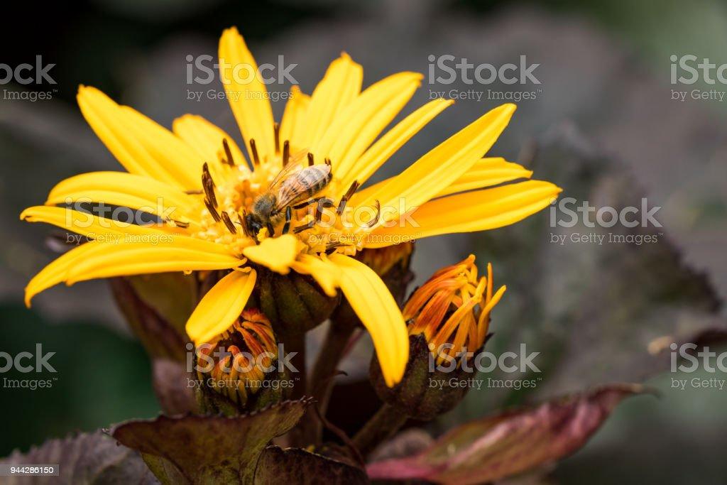 Honey Bee and Yellow Flower stock photo