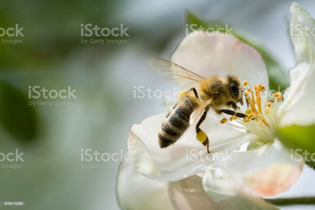 Honey Bee at Apple branch blossom stock photo