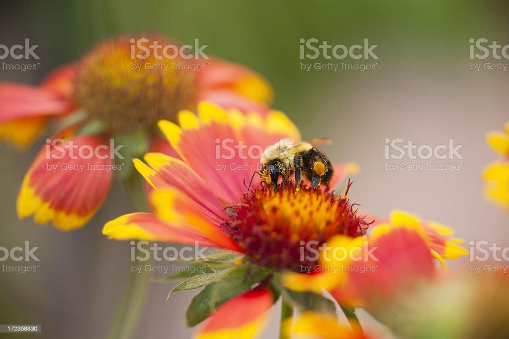 Honey Bee at Work royalty-free stock photo
