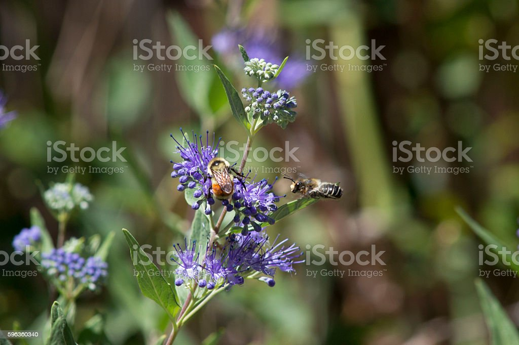 Honey Bee bugging a Bumble Bee royalty-free stock photo