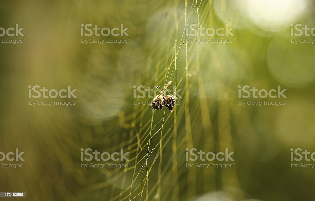 Honey bee caught in Orb spiders Web royalty-free stock photo