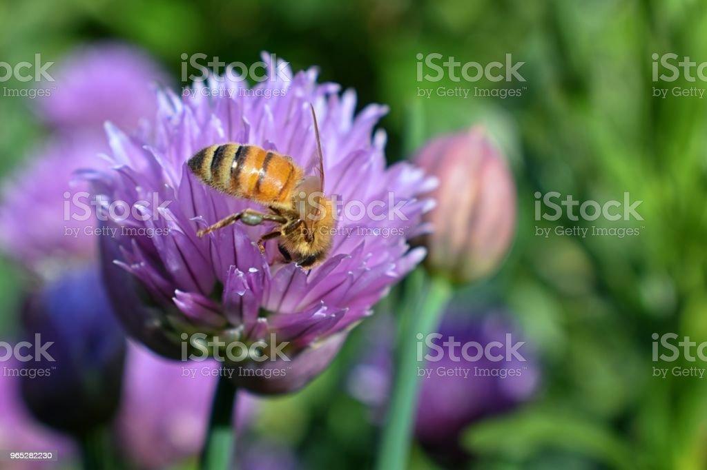 Honey Bee collecting nectar and pollen on a Chive (Allium schoenoprasum) onion flower blossom closeup macro view in cottage garden in Utah, USA. zbiór zdjęć royalty-free