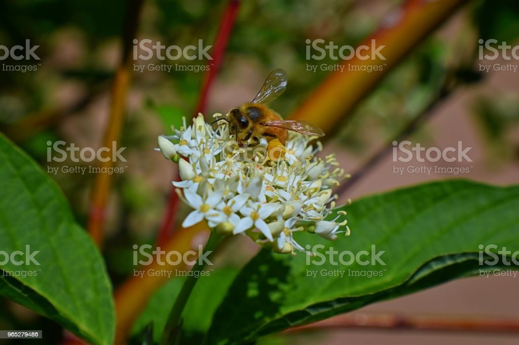 Honey Bee collecting nectar and pollen on a Dogwood (Cornus Cornaceae) flower blossom closeup macro view in cottage garden in Utah, USA royalty-free stock photo