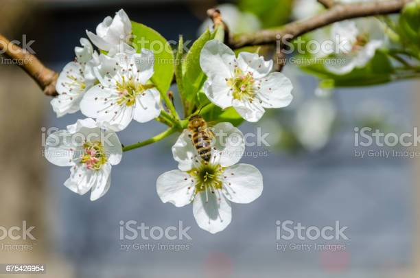 Honey bee collecting nectar on white pear tree blossoms at springtime picture id675426954?b=1&k=6&m=675426954&s=612x612&h=0slx2 g0qxclba8z9exu  fntcmdwebgcdwfxqji jo=